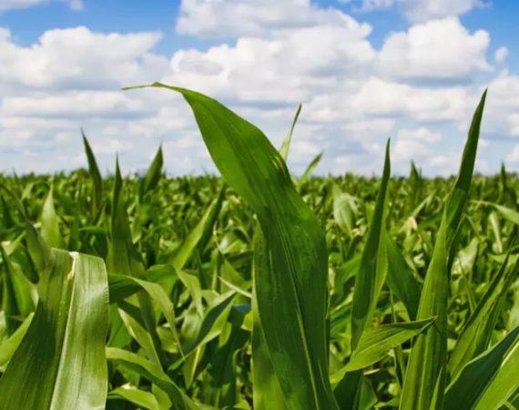 pole, kukurydza, uprawy