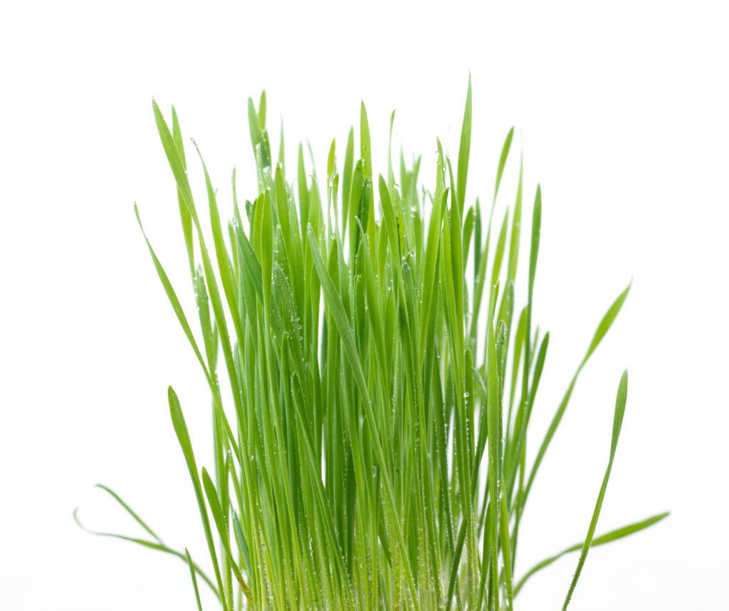 rośliny, rolnictwo, trawa, uprawy