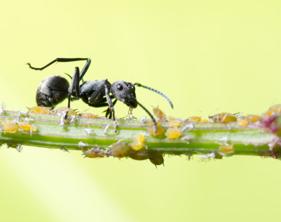 mrówki, mszyce, rośliny, szkodniki