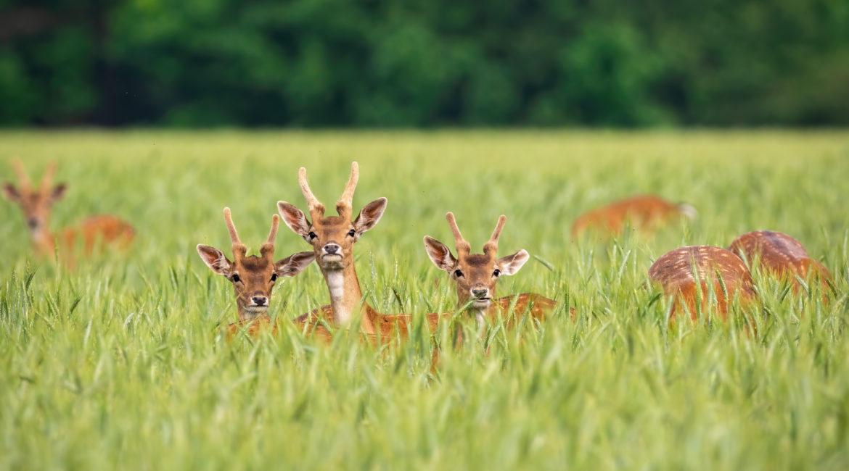 szkody, szkody łowieckie, dzikie zwierzęta, pole, uprawy, zadeptane uprawy