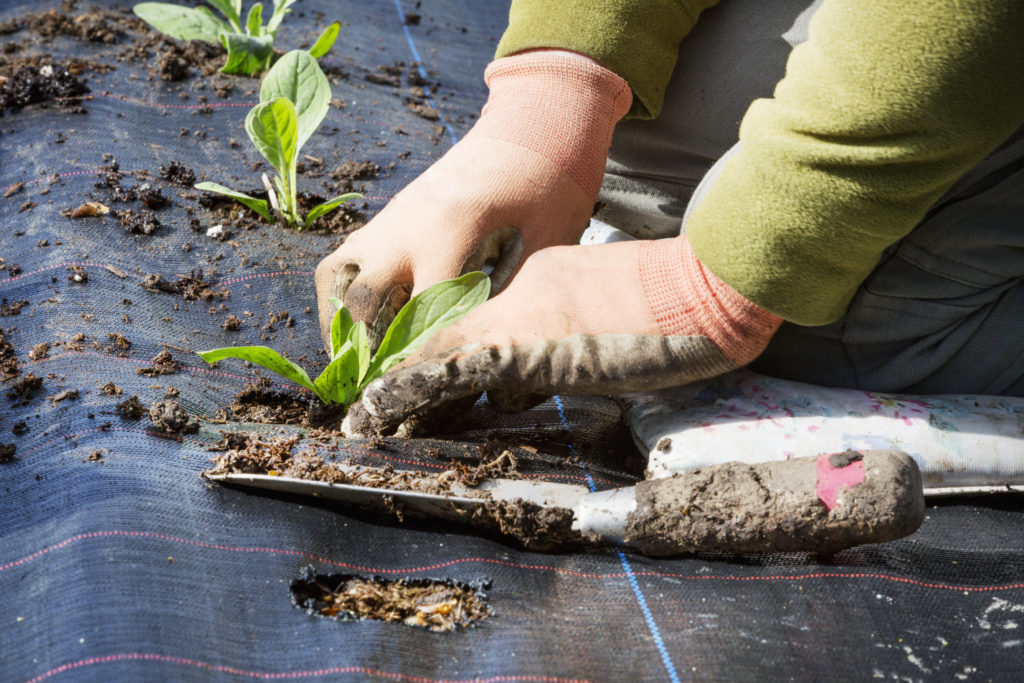 A person kneeling and planting small plant plugs with root networks into asoil bed covered with moisture retaining matting.
