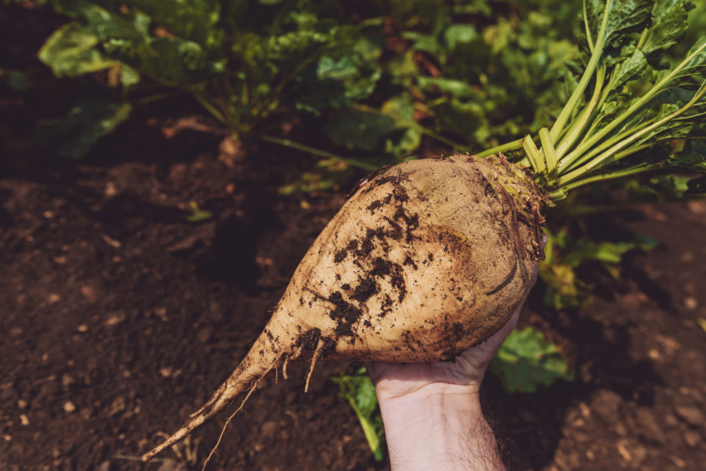 FArmer holding extracted organically grown sugar beet root crop in the field