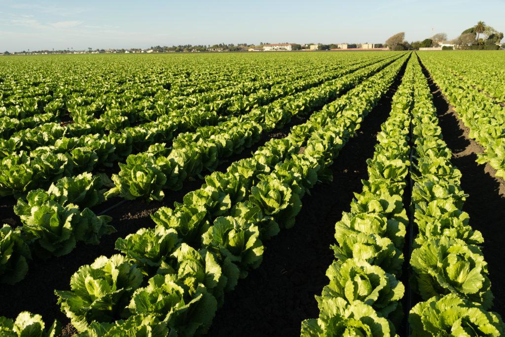 Lettuce is grown in urban California