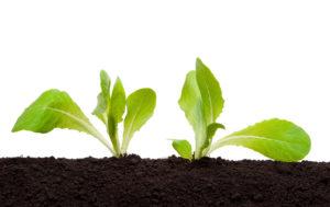 rosliny, uprawy, sałata