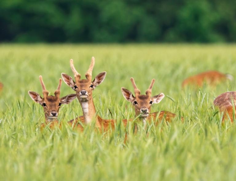 sarny na polu, dzikie zwierzęta, szkody łowieckie