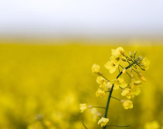 rzepak, pole, rolnictwo