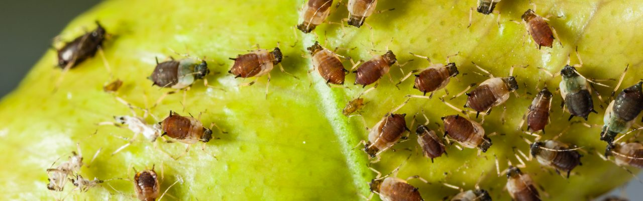 extreme macro shot of a aphids colony over a citrus leaf