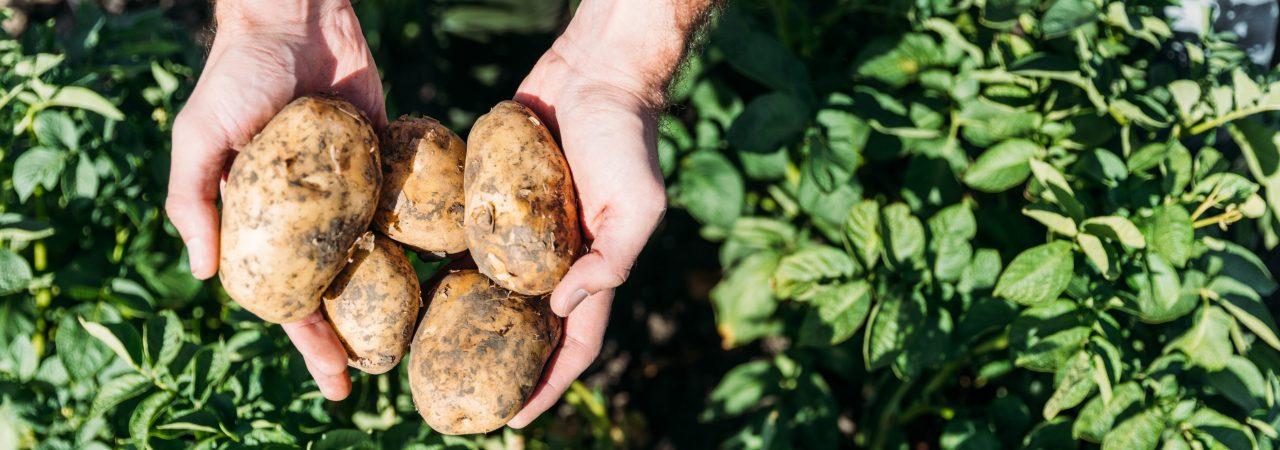 ziemniaki, rolnictwo, blog